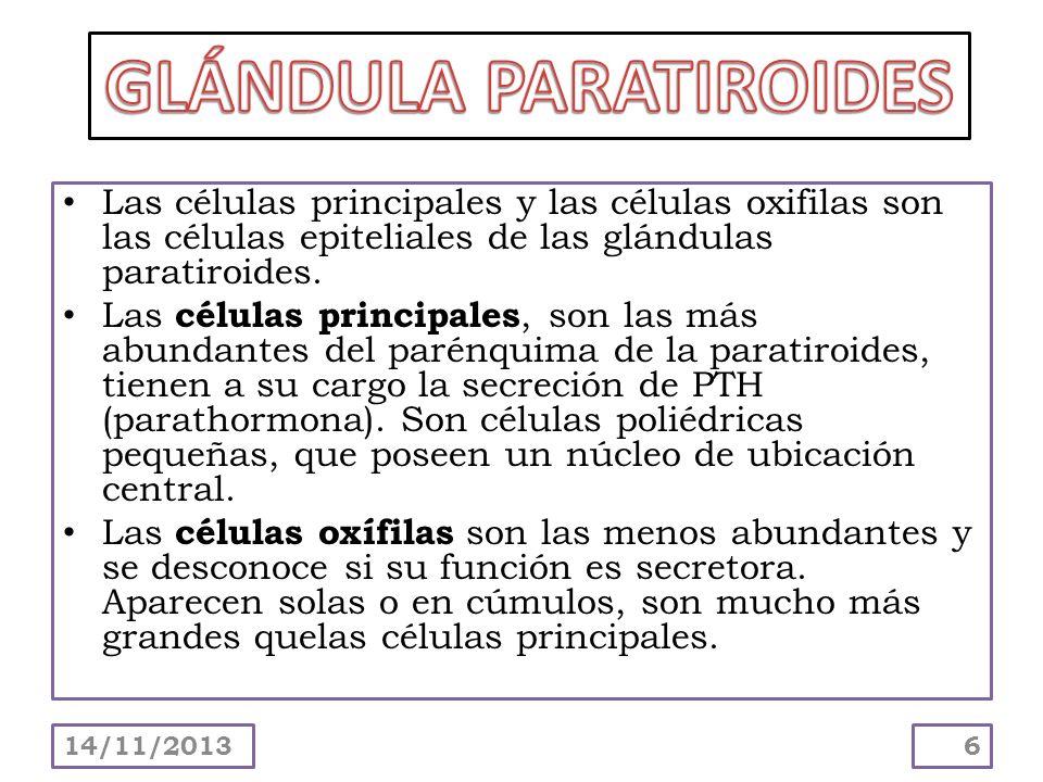 Desde el punto de vista estructural, cada glándula paratiroides está rodeada de una cápsula de TC delgada que la separa de la glándula tiroides.