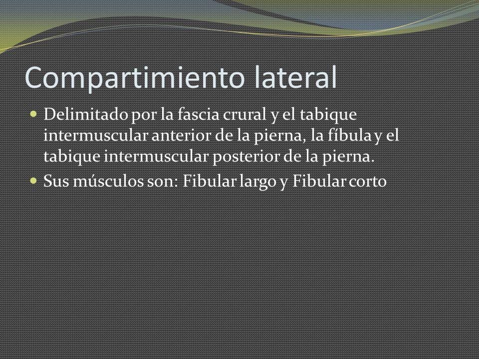 Compartimiento lateral Delimitado por la fascia crural y el tabique intermuscular anterior de la pierna, la fíbula y el tabique intermuscular posterio