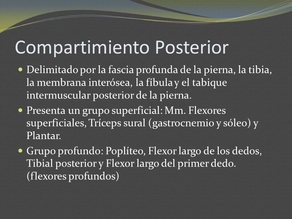 Compartimiento Posterior Delimitado por la fascia profunda de la pierna, la tibia, la membrana interósea, la fíbula y el tabique intermuscular posteri
