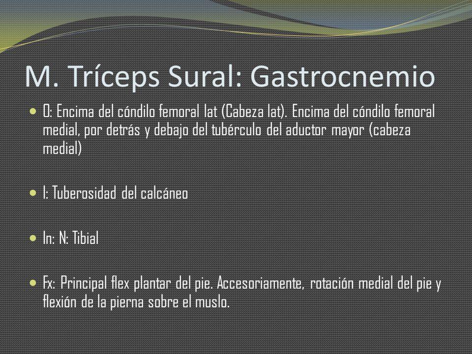 M. Tríceps Sural: Gastrocnemio O: Encima del cóndilo femoral lat (Cabeza lat). Encima del cóndilo femoral medial, por detrás y debajo del tubérculo de