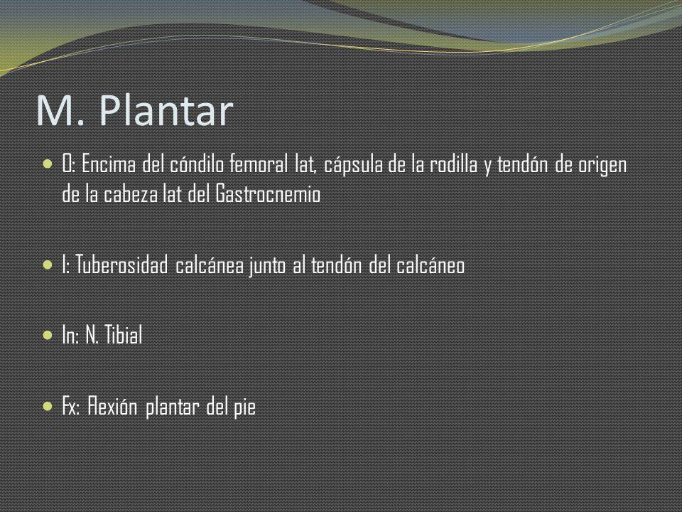 M. Plantar O: Encima del cóndilo femoral lat, cápsula de la rodilla y tendón de origen de la cabeza lat del Gastrocnemio I: Tuberosidad calcánea junto