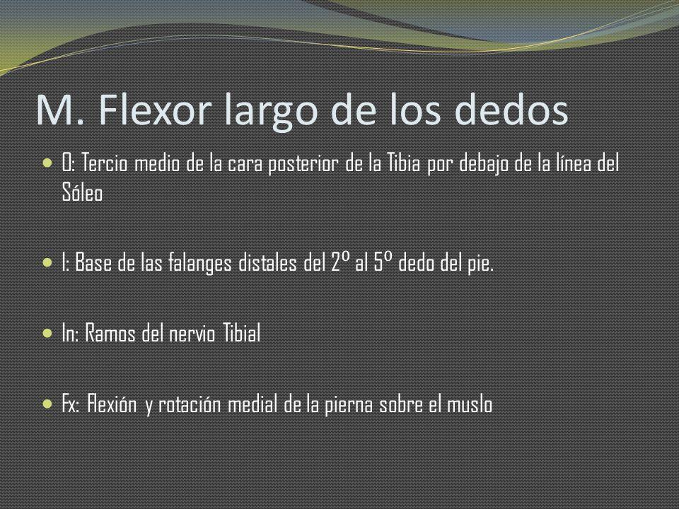 M. Flexor largo de los dedos O: Tercio medio de la cara posterior de la Tibia por debajo de la línea del Sóleo I: Base de las falanges distales del 2