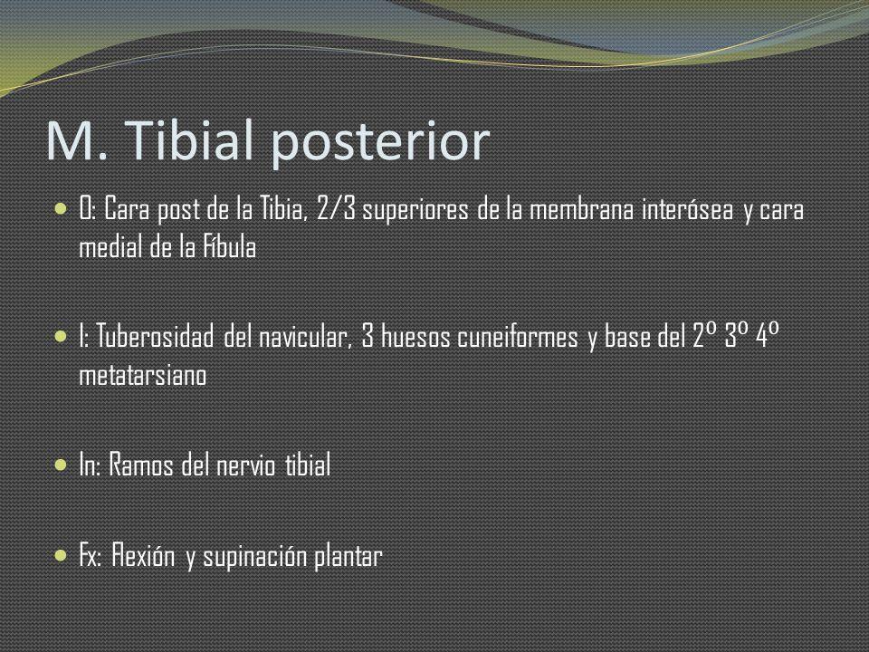 M. Tibial posterior O: Cara post de la Tibia, 2/3 superiores de la membrana interósea y cara medial de la Fíbula I: Tuberosidad del navicular, 3 hueso