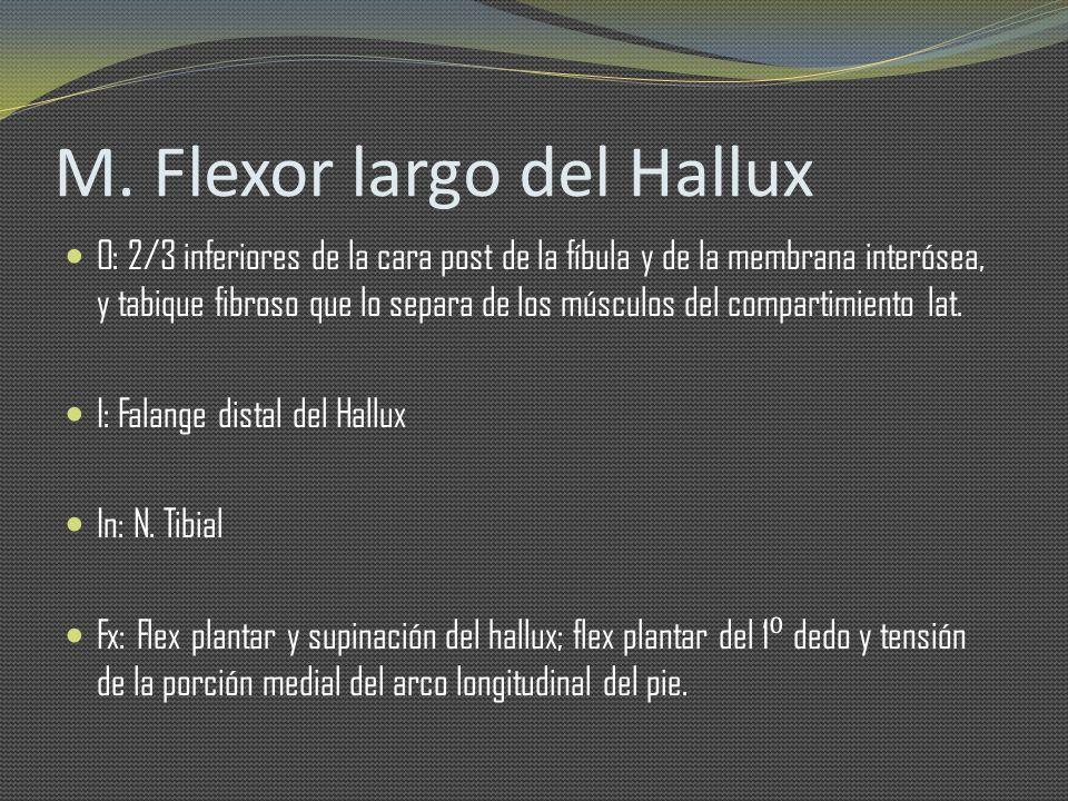 M. Flexor largo del Hallux O: 2/3 inferiores de la cara post de la fíbula y de la membrana interósea, y tabique fibroso que lo separa de los músculos
