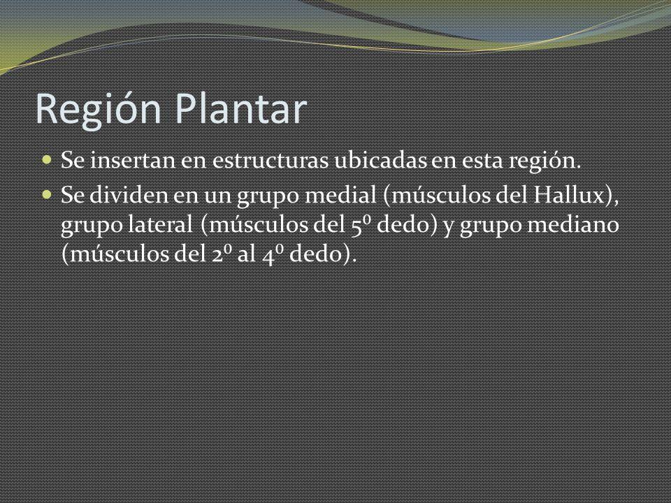 Región Plantar Se insertan en estructuras ubicadas en esta región. Se dividen en un grupo medial (músculos del Hallux), grupo lateral (músculos del 5