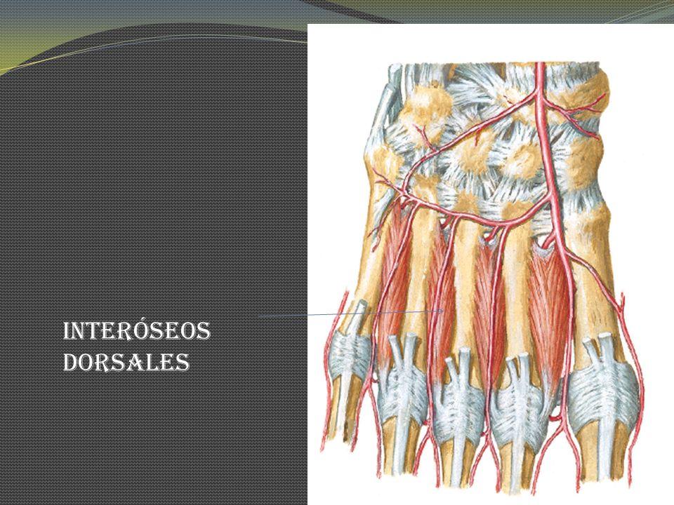 Interóseos dorsales