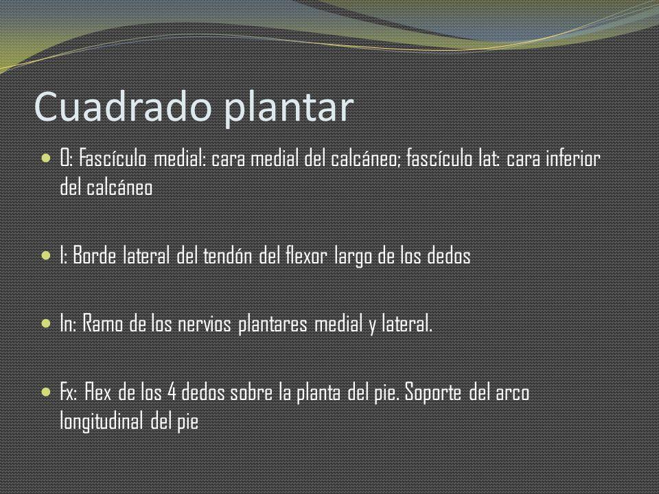 Cuadrado plantar O: Fascículo medial: cara medial del calcáneo; fascículo lat: cara inferior del calcáneo I: Borde lateral del tendón del flexor largo