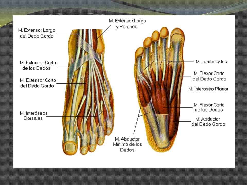 Grupo medial: Flexor corto del Hallux O: Huesos cuneiforme medial e intermedio, ligamento plantar largo, tendón del músculo tibial posterior y aponeurosis plantar I: Cabeza medial_ tendón del M.
