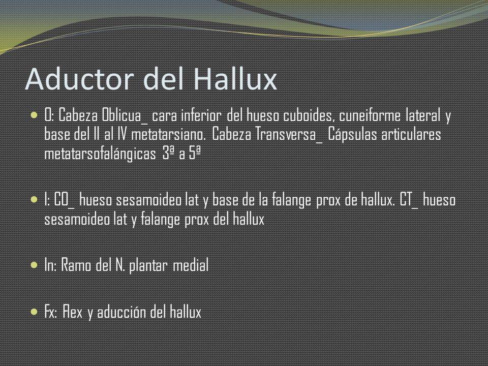 Aductor del Hallux O: Cabeza Oblicua_ cara inferior del hueso cuboides, cuneiforme lateral y base del II al IV metatarsiano. Cabeza Transversa_ Cápsul