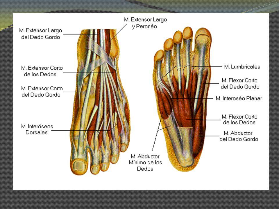 Abductor del Hallux O: Tuberosidad calcánea y aponeurosis plantar I: Hueso sesamoideo medial y falange prox del hallux In: N.