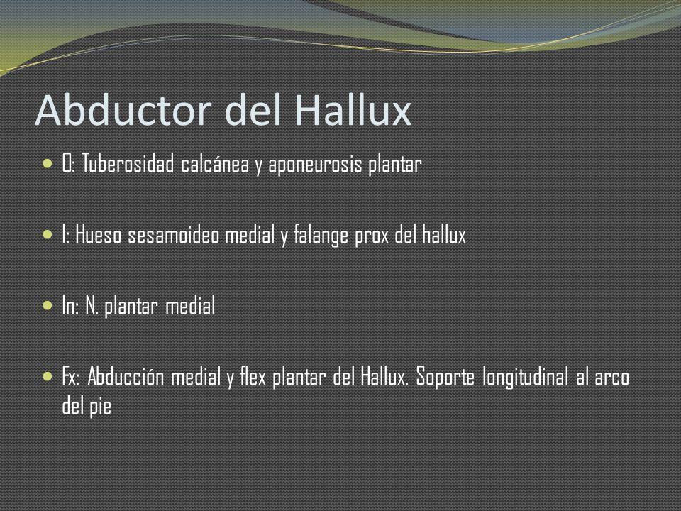 Abductor del Hallux O: Tuberosidad calcánea y aponeurosis plantar I: Hueso sesamoideo medial y falange prox del hallux In: N. plantar medial Fx: Abduc