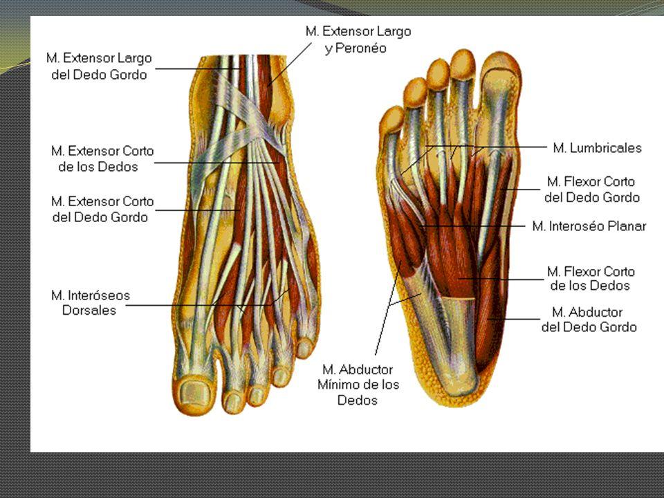 Grupo lat: Flexor corto del 5 dedo O: Base del 5º metatarsiano y ligamento plantar largo I: Falange prox del 5º dedo In: N.