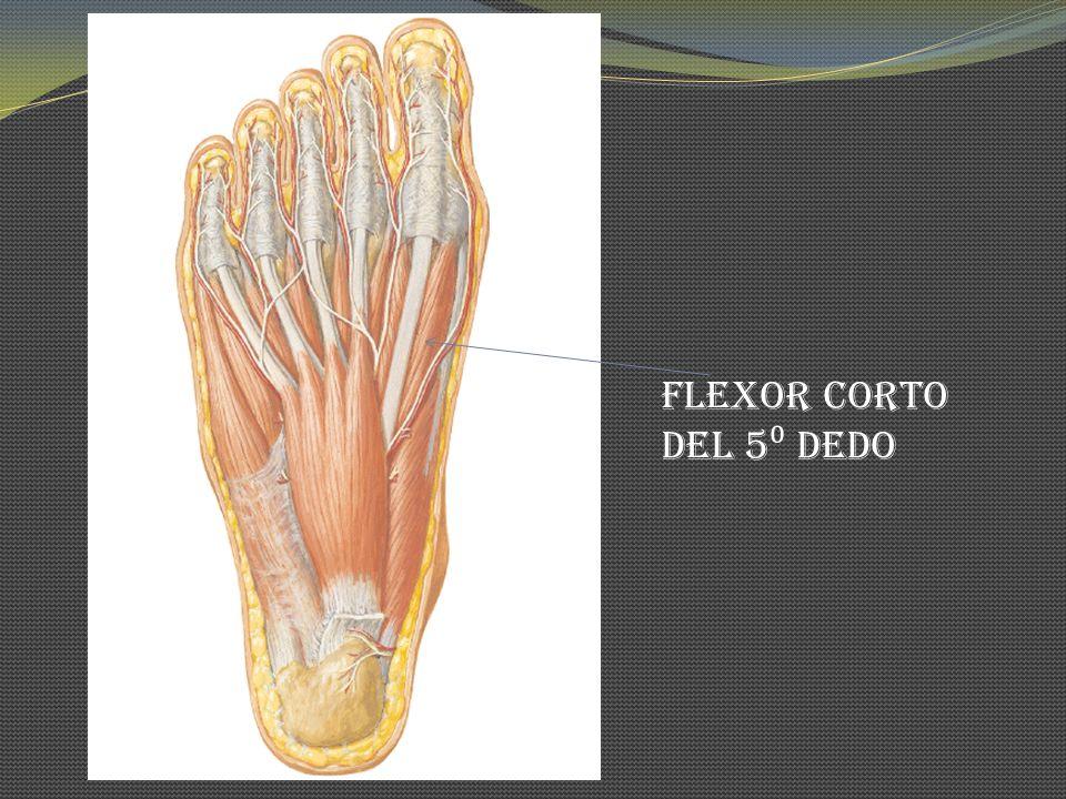 Flexor corto del 5 dedo