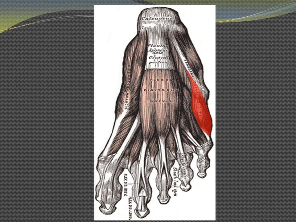 Abductor del 5 dedo O: Calcáneo y aponeurosis plantar I: Cara lat de la falange proximal del 5º dedo In: N.
