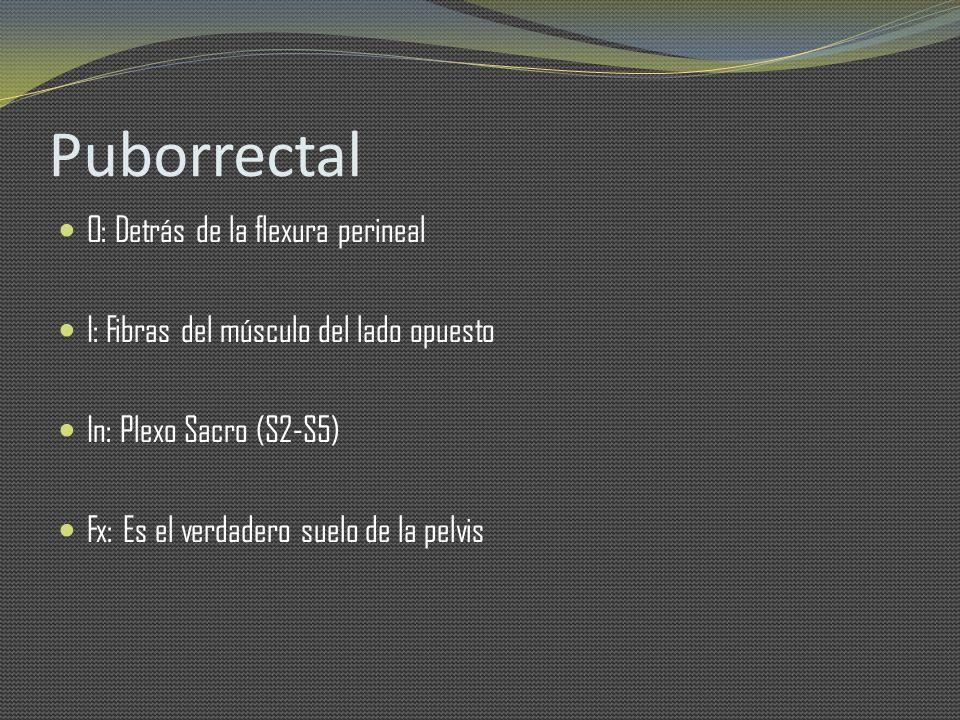 Puborrectal O: Detrás de la flexura perineal I: Fibras del músculo del lado opuesto In: Plexo Sacro (S2-S5) Fx: Es el verdadero suelo de la pelvis