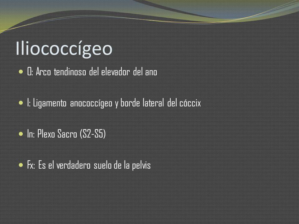 Iliococcígeo O: Arco tendinoso del elevador del ano I: Ligamento anococcígeo y borde lateral del cóccix In: Plexo Sacro (S2-S5) Fx: Es el verdadero su