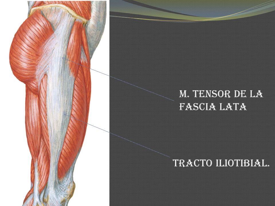 M. Tensor de la Fascia Lata Tracto Iliotibial.