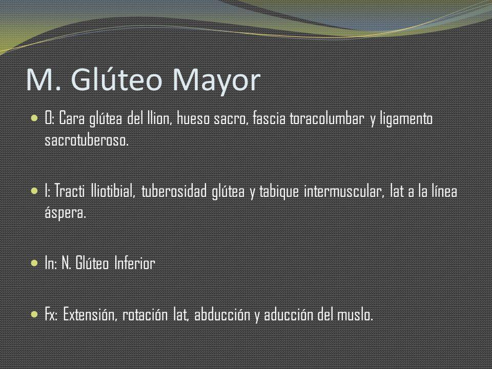 M. Glúteo Mayor O: Cara glútea del Ilion, hueso sacro, fascia toracolumbar y ligamento sacrotuberoso. I: Tracti Iliotibial, tuberosidad glútea y tabiq