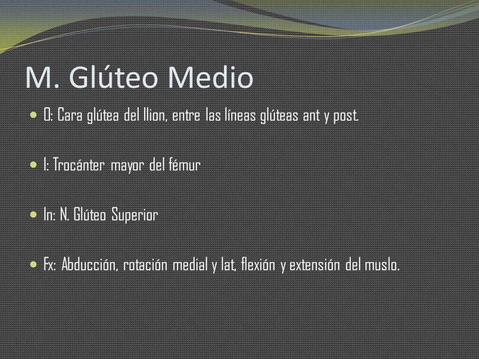 M. Glúteo Medio O: Cara glútea del Ilion, entre las líneas glúteas ant y post. I: Trocánter mayor del fémur In: N. Glúteo Superior Fx: Abducción, rota