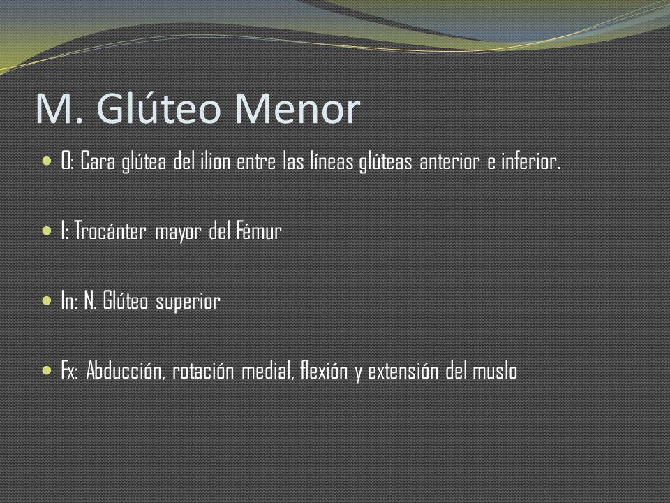 M. Glúteo Menor O: Cara glútea del ilion entre las líneas glúteas anterior e inferior. I: Trocánter mayor del Fémur In: N. Glúteo superior Fx: Abducci
