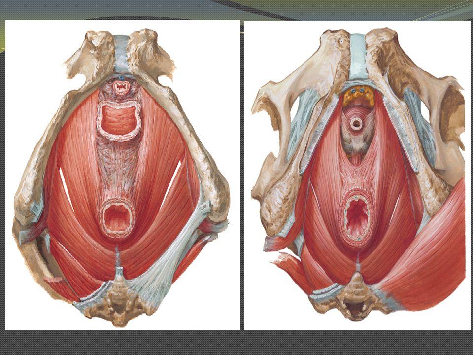 Obturador interno O: Cara de la membrana obturatriz y contorno óseo.