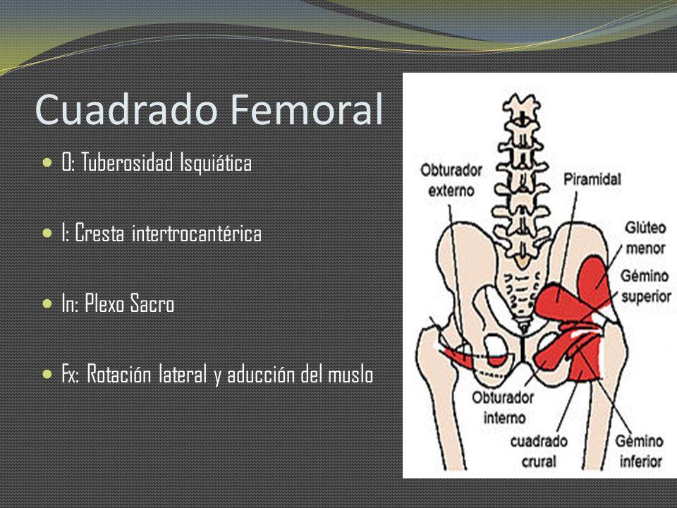Cuadrado Femoral O: Tuberosidad Isquiática I: Cresta intertrocantérica In: Plexo Sacro Fx: Rotación lateral y aducción del muslo