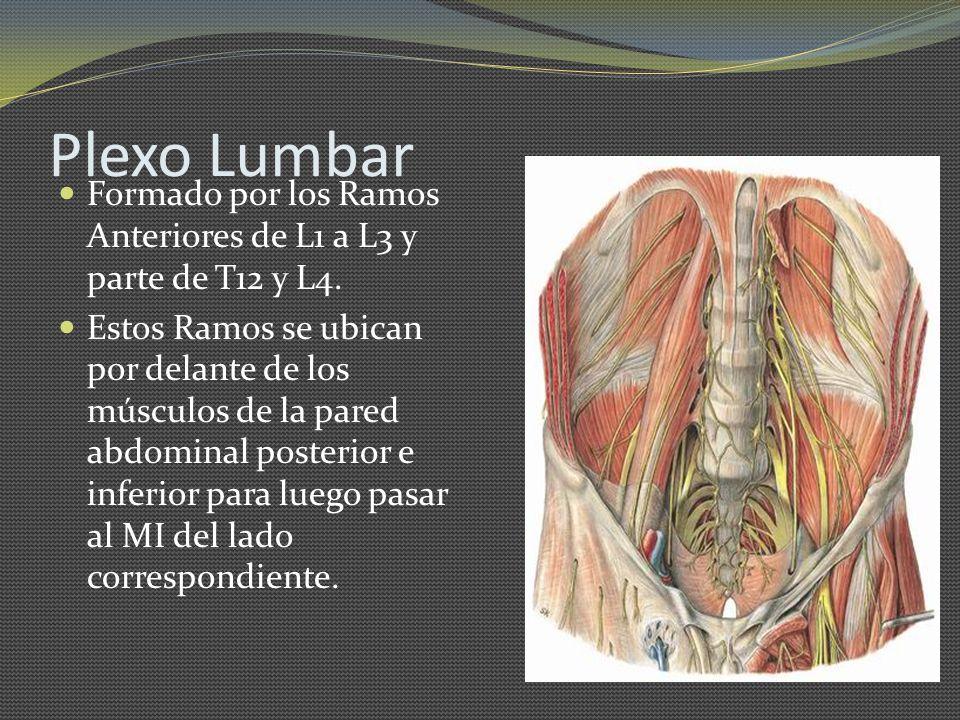 Plexo Lumbar Formado por los Ramos Anteriores de L1 a L3 y parte de T12 y L4. Estos Ramos se ubican por delante de los músculos de la pared abdominal