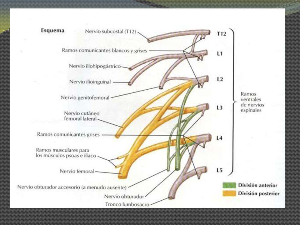 Nervio Iliohipogástrico Mixto (motor y sensitivo) Se origina de los Ramos de T12 y L1.