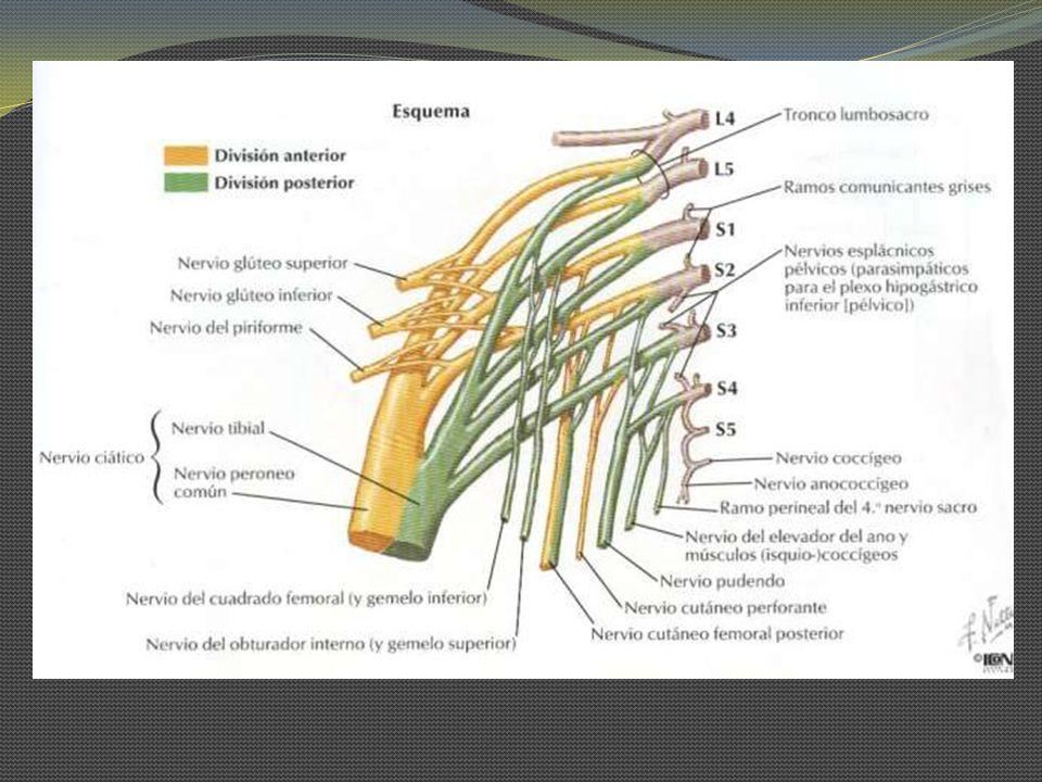 Nervio Ciático Es el más grueso y largo del cuerpo, se origina de los ramos anteriores de L4-S3 del Plexo Sacro.