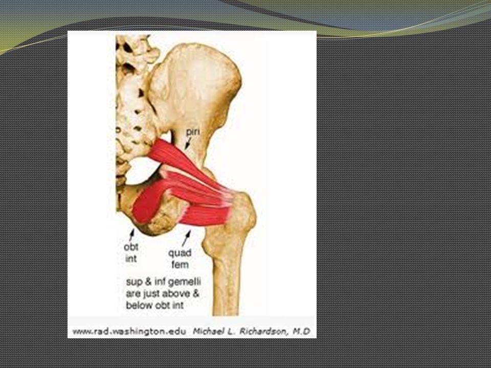 Piriforme O: Cara ant del sacro I: Lado interno del vértice del trocánter mayor In: Plexo sacro Fx: Abducción, extensión y rotación externa de la articulación de la cadera