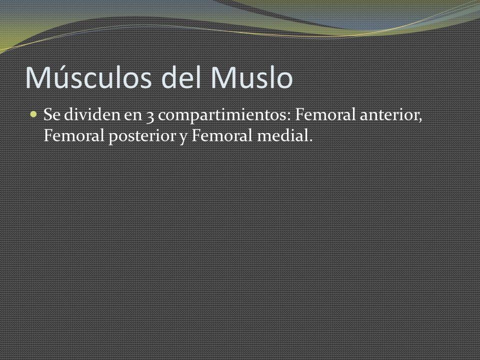 Músculos del Muslo Se dividen en 3 compartimientos: Femoral anterior, Femoral posterior y Femoral medial.
