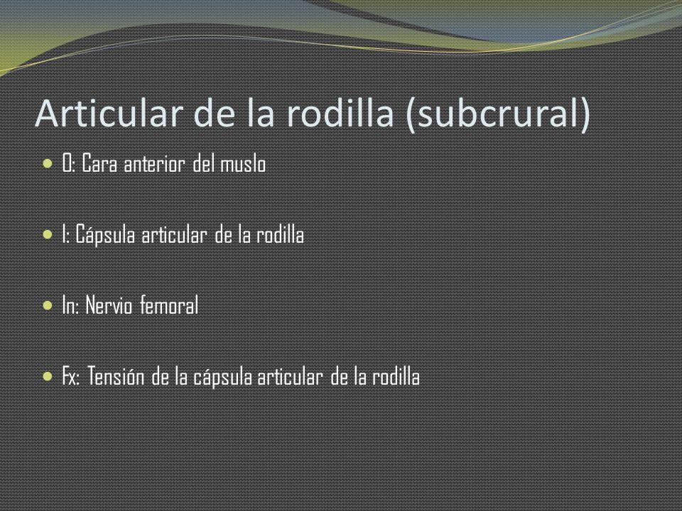 Articular de la rodilla (subcrural) O: Cara anterior del muslo I: Cápsula articular de la rodilla In: Nervio femoral Fx: Tensión de la cápsula articul