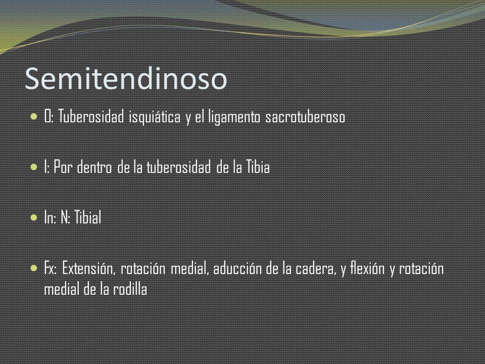 Semitendinoso O: Tuberosidad isquiática y el ligamento sacrotuberoso I: Por dentro de la tuberosidad de la Tibia In: N: Tibial Fx: Extensión, rotación