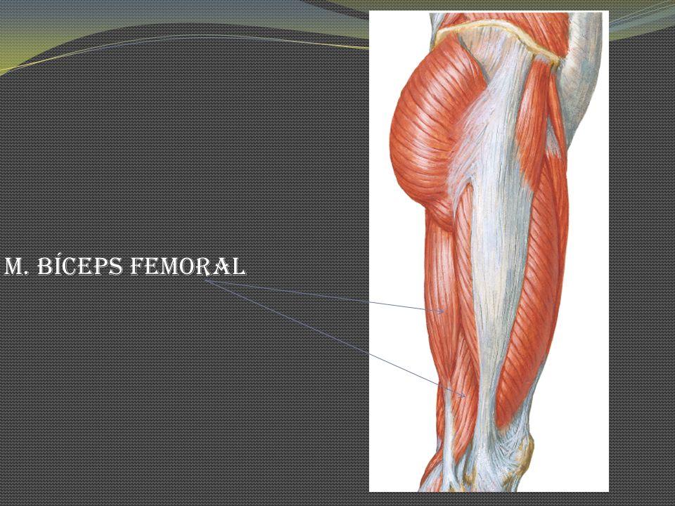 M. Bíceps Femoral