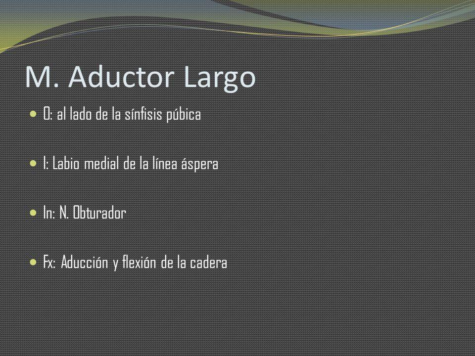 M. Aductor Largo O: al lado de la sínfisis púbica I: Labio medial de la línea áspera In: N. Obturador Fx: Aducción y flexión de la cadera