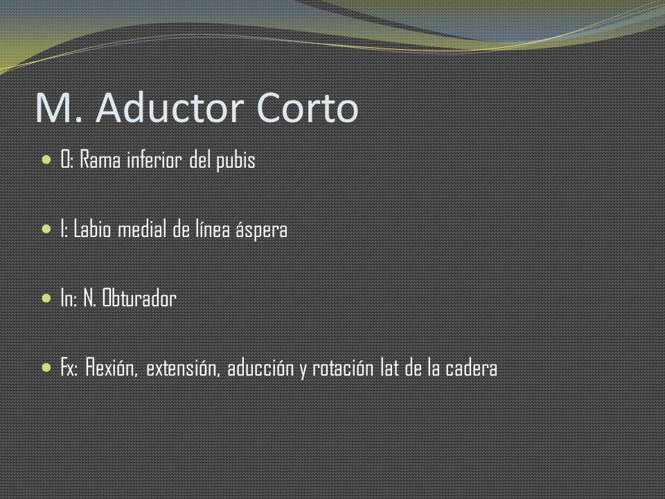 M. Aductor Corto O: Rama inferior del pubis I: Labio medial de línea áspera In: N. Obturador Fx: Flexión, extensión, aducción y rotación lat de la cad
