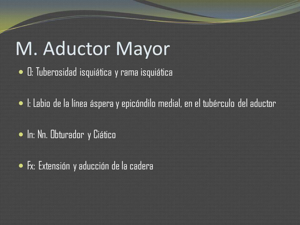 M. Aductor Mayor O: Tuberosidad isquiática y rama isquiática I: Labio de la línea áspera y epicóndilo medial, en el tubérculo del aductor In: Nn. Obtu