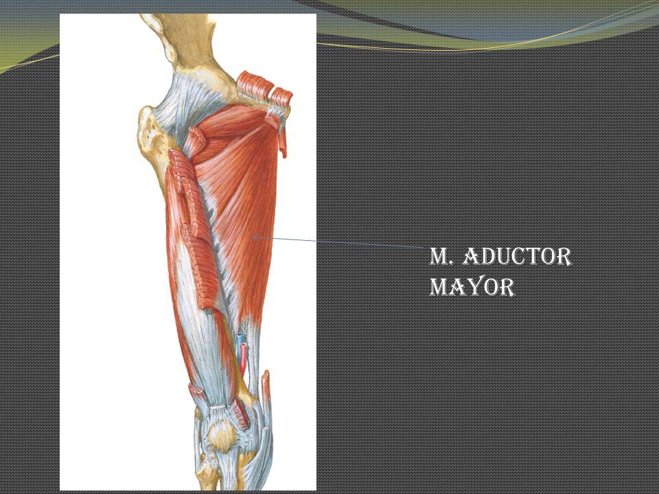 M. Aductor Mayor