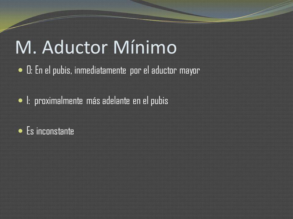 M. Aductor Mínimo O: En el pubis, inmediatamente por el aductor mayor I: proximalmente más adelante en el pubis Es inconstante