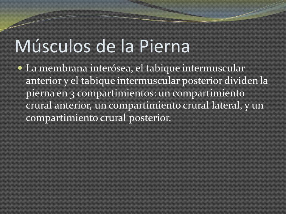 Músculos de la Pierna La membrana interósea, el tabique intermuscular anterior y el tabique intermuscular posterior dividen la pierna en 3 compartimie