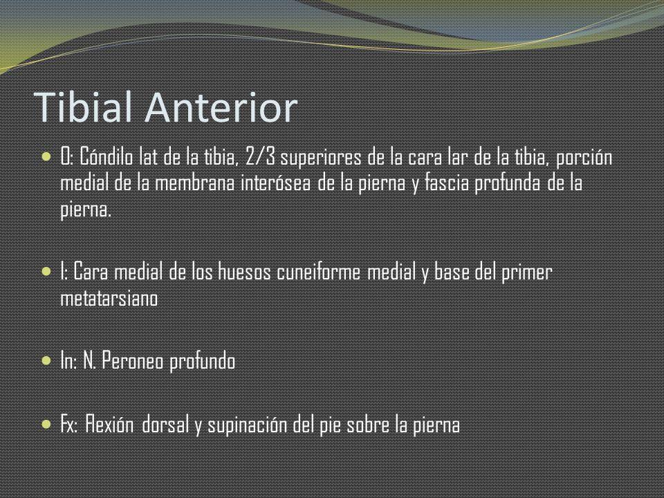 Tibial Anterior O: Cóndilo lat de la tibia, 2/3 superiores de la cara lar de la tibia, porción medial de la membrana interósea de la pierna y fascia p