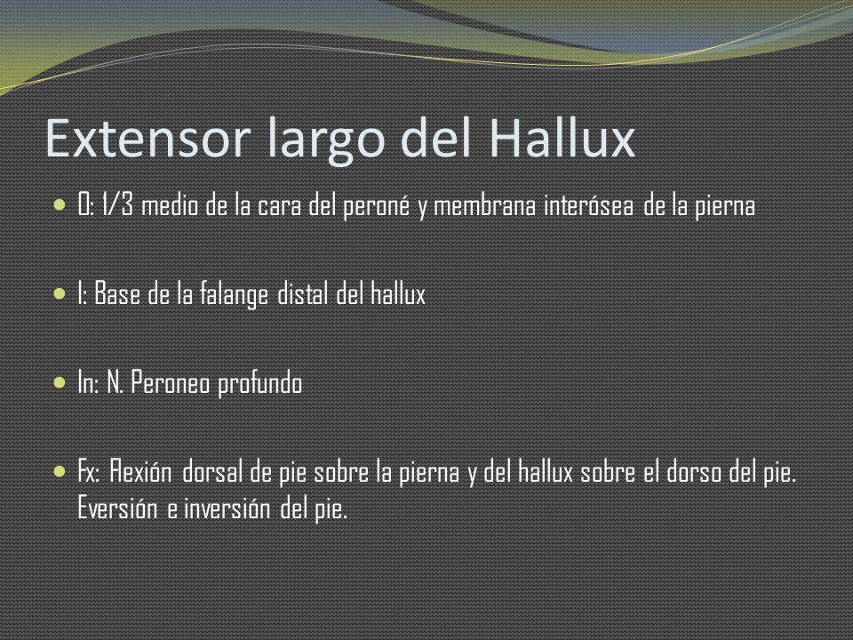 Extensor largo del Hallux O: 1/3 medio de la cara del peroné y membrana interósea de la pierna I: Base de la falange distal del hallux In: N. Peroneo