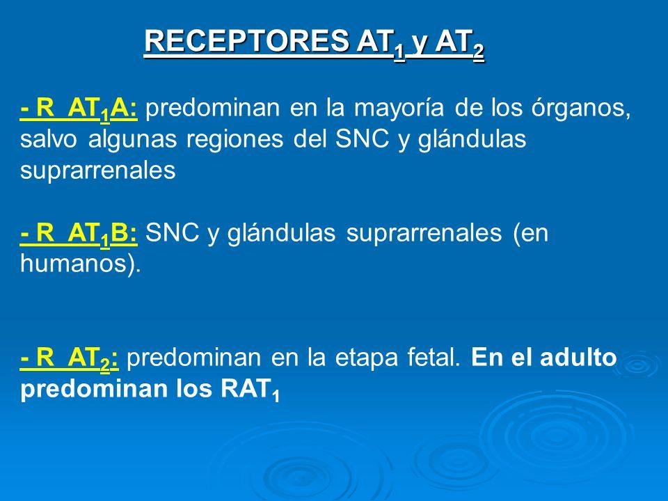 RECEPTORES AT 1 y AT 2 - R AT 1 A: predominan en la mayoría de los órganos, salvo algunas regiones del SNC y glándulas suprarrenales - R AT 1 B: SNC y