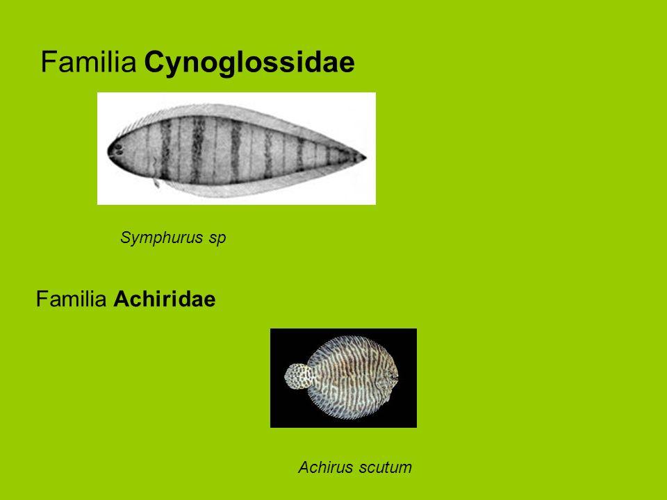Familia Cynoglossidae Symphurus sp Achirus scutum Familia Achiridae