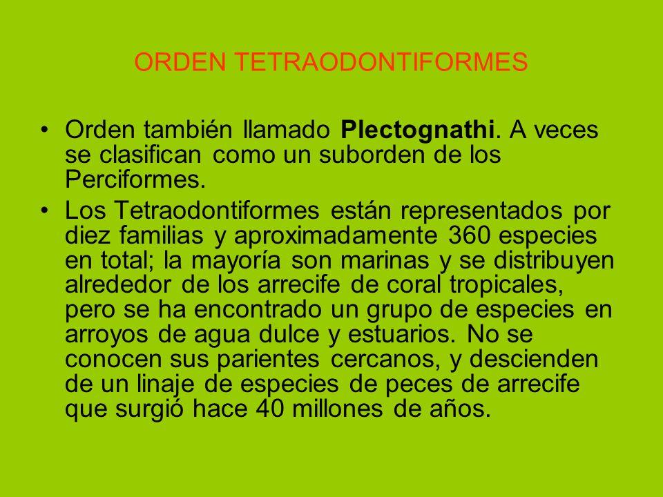 ORDEN TETRAODONTIFORMES Orden también llamado Plectognathi. A veces se clasifican como un suborden de los Perciformes. Los Tetraodontiformes están rep