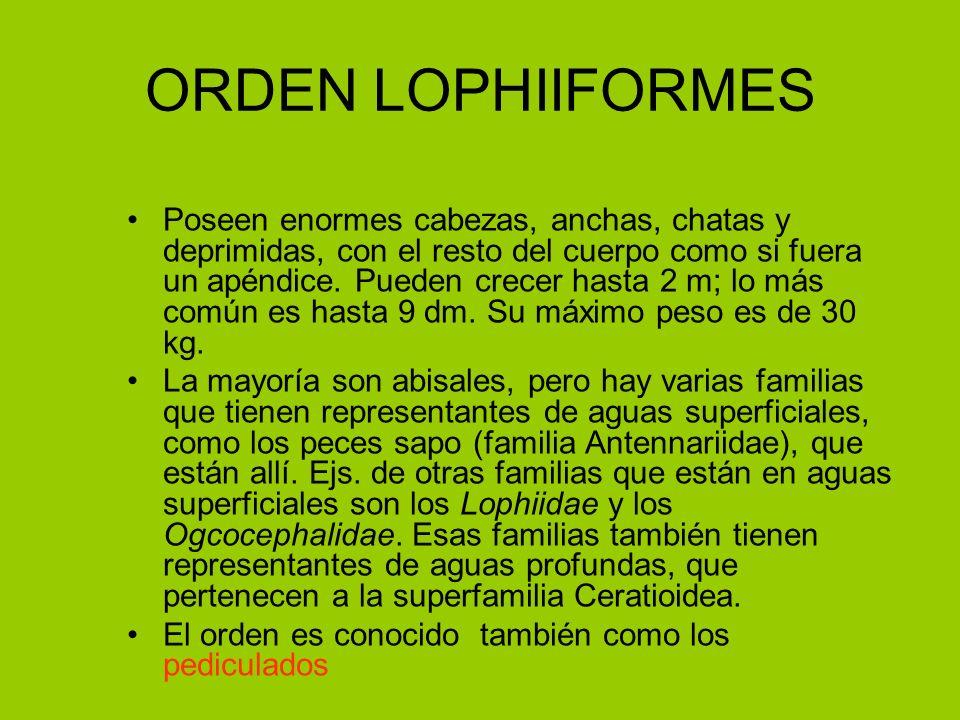 ORDEN LOPHIIFORMES Poseen enormes cabezas, anchas, chatas y deprimidas, con el resto del cuerpo como si fuera un apéndice. Pueden crecer hasta 2 m; lo