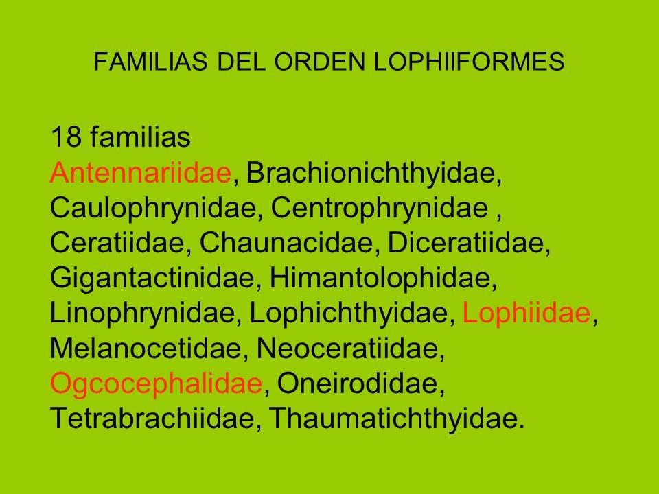 FAMILIAS DEL ORDEN LOPHIIFORMES 18 familias Antennariidae, Brachionichthyidae, Caulophrynidae, Centrophrynidae, Ceratiidae, Chaunacidae, Diceratiidae,