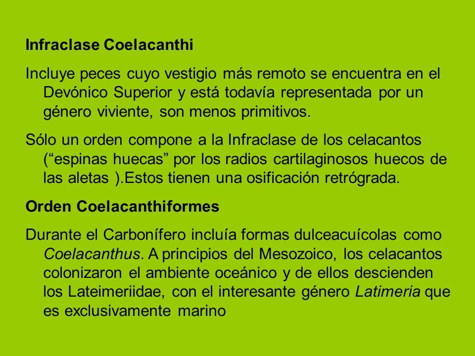 Infraclase Coelacanthi Incluye peces cuyo vestigio más remoto se encuentra en el Devónico Superior y está todavía representada por un género viviente,