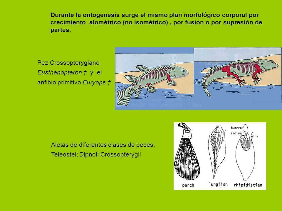 Durante la ontogenesis surge el mismo plan morfológico corporal por crecimiento alométríco (no isométrico), por fusión o por supresión de partes. Pez