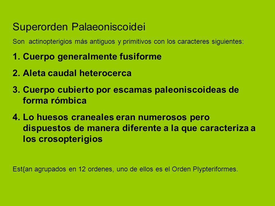 Superorden Palaeoniscoidei Son actinopterigios más antiguos y primitivos con los caracteres siguientes: 1.Cuerpo generalmente fusiforme 2.Aleta caudal